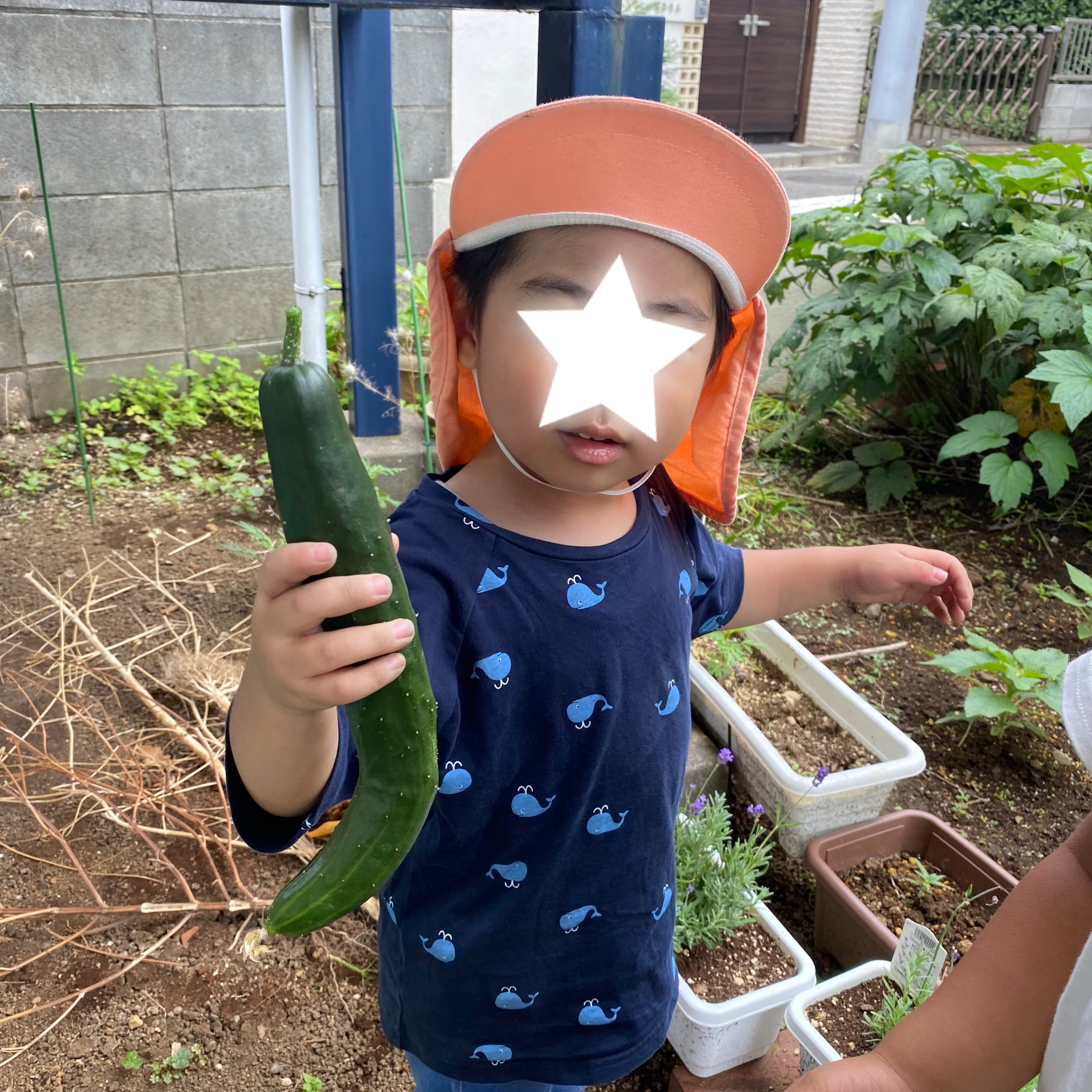 きゅうりの収穫
